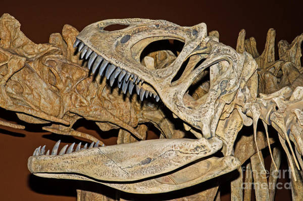 Photograph - Saurophaganax Dinosaur Skull Fossil by Millard H Sharp