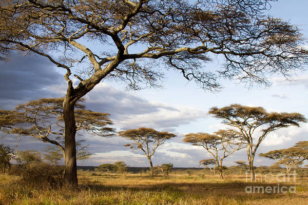 Savanna Acacia Trees  Art Print