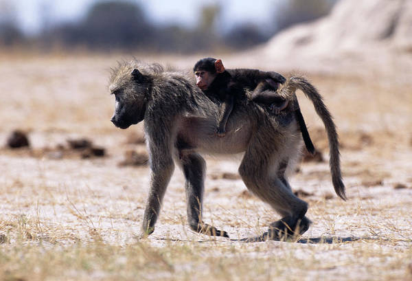 Baboons Photograph - Savanna Baboon And Young by Tony Camacho/science Photo Library