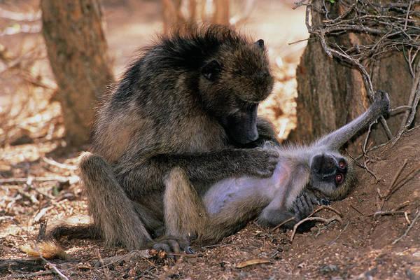 Savanna Photograph - Savanna Baboon Grooming Its Young by Tony Camacho/science Photo Library