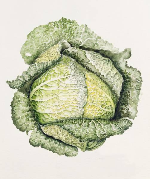 Food Art Painting - Savoy Cabbage  by Alison Cooper