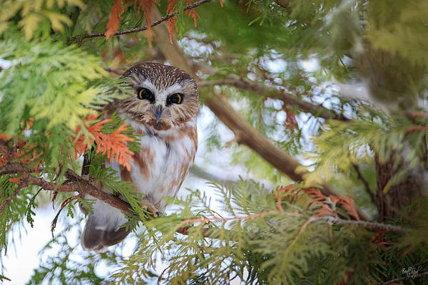 Regal Photograph - Saw-whet Owl by Everet Regal