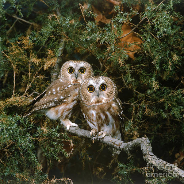 Photograph - Saw-whet Owls by G Ronald Austing