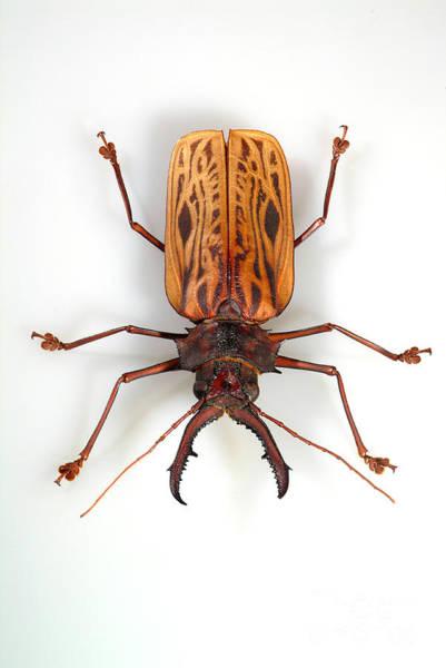 Photograph - Sawyer Beetle by Phil Degginger