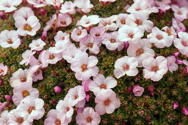 Wall Art - Photograph - Saxifraga 'allendale Charm' by Adrian Thomas/science Photo Library
