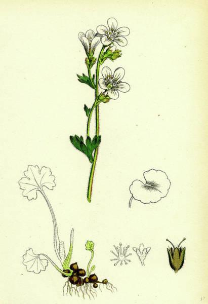 Wall Art - Drawing - Saxifraga Granulata White Meadow Saxifrage by English School