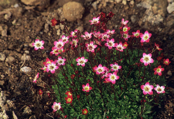 Crimson Photograph - Saxifrage 'ware's Crimson' by A C Seinet/science Photo Library