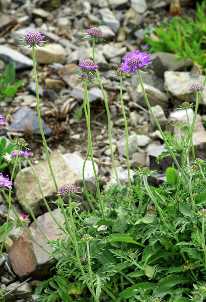 Wall Art - Photograph - Scabiosa Columbaria Cinerea Flowers by Brian Gadsby/science Photo Library