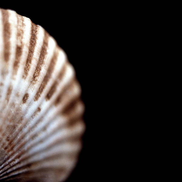 Molluscs Wall Art - Photograph - Scallop Shell by Neal Grundy/science Photo Library