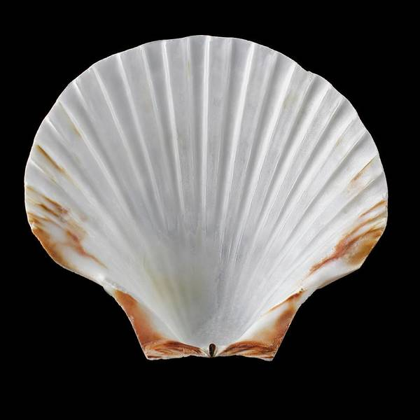 Mollusca Photograph - Scallop Shell by Science Photo Library