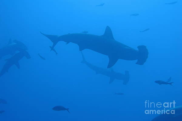 Hammerhead Photograph - Scalloped Hammerhead Sharks by Sami Sarkis