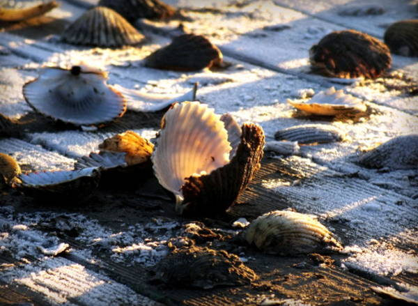 Wall Art - Photograph - Half Shell On Ice by Karen Wiles