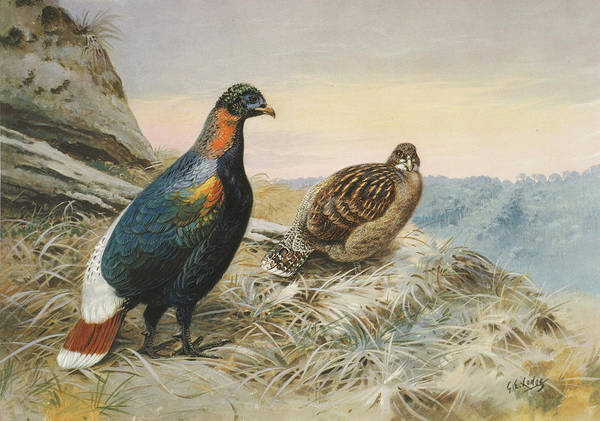 Moorland Photograph - Scalter's Monal Pheasant by Natural History Museum, London/science Photo Library