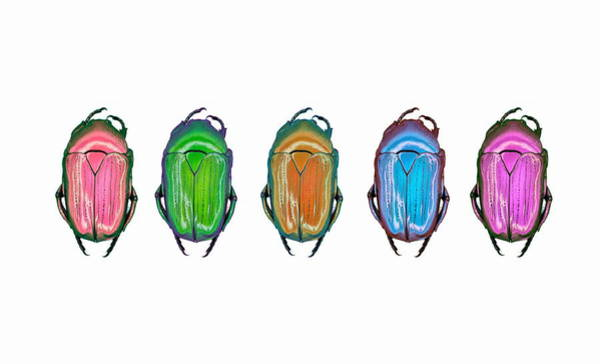 Wall Art - Photograph - Scarab Beetles by Gustoimages/science Photo Library