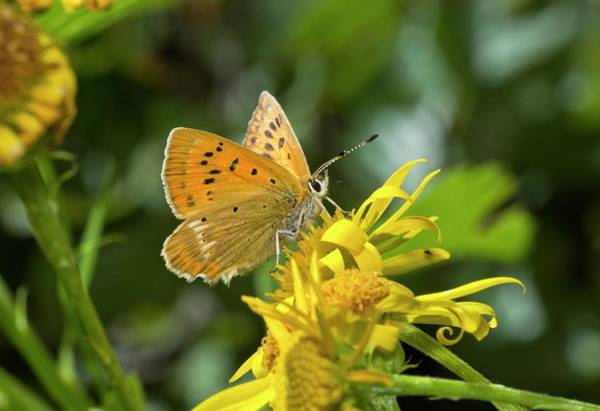Copper Mountain Photograph - Scarce Copper Butterfly On Ragwort by Bob Gibbons