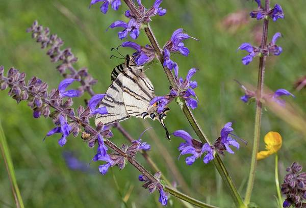 Purple Sage Photograph - Scarce Swallowtail On Wild Clary by Bob Gibbons