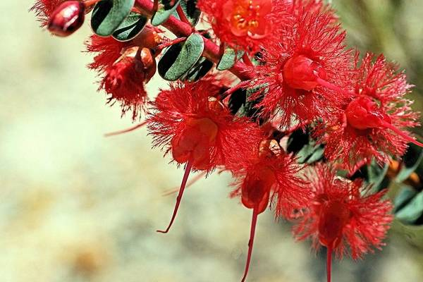 Photograph - Scarlet Feather Flowers by David Rich