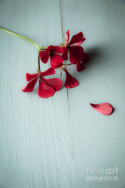 Red Geraniums Wall Art - Photograph - Scarlet Geranium by Jan Bickerton