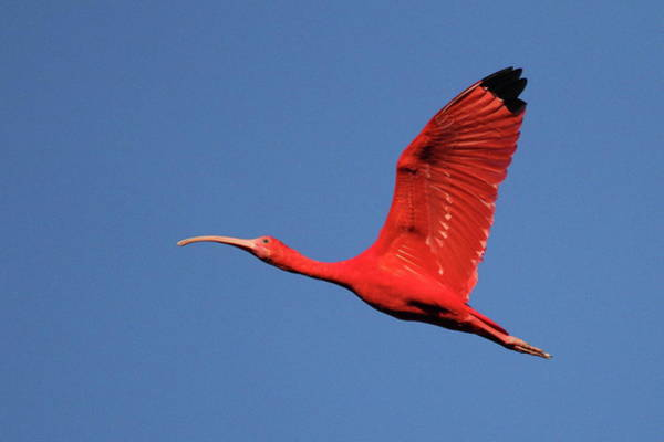Tobago Wall Art - Photograph - Scarlet Ibis by Copyright Faraaz Abdool/hector De Corazón