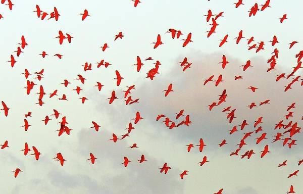 Wall Art - Photograph - Scarlet Ibis Flock by Bob Gibbons