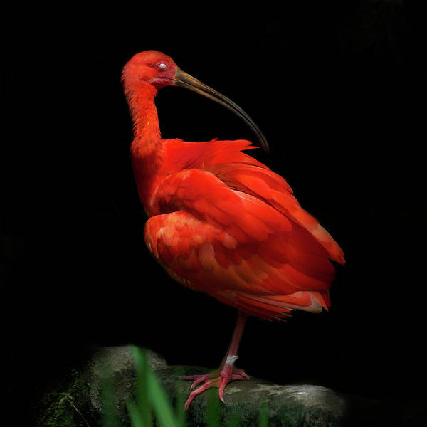 Photograph - Scarlet Ibis On Black Background With by © Christian Meermann