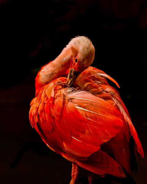Photograph - Scarlet Ibis by Tom and Pat Cory