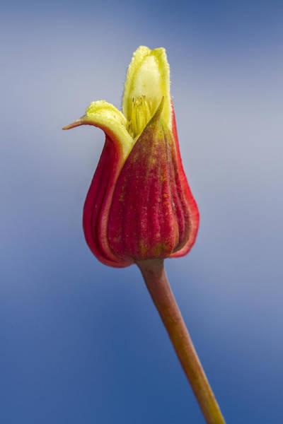 Photograph - Scarlet Leatherflower by Steven Schwartzman