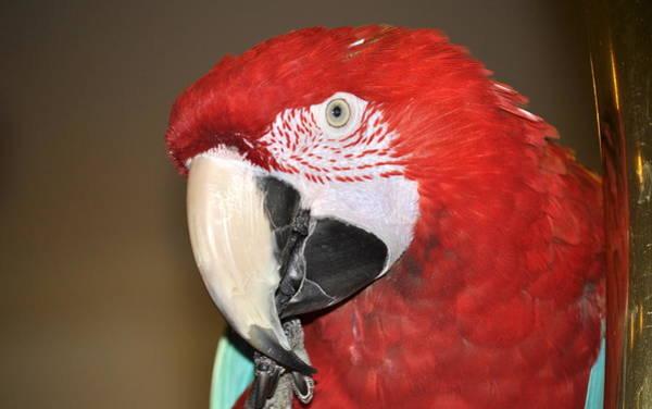 Photograph - Scarlet Macaw by AJ  Schibig