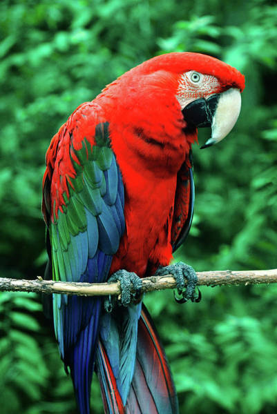 Macaw Photograph - Scarlet Macaw Ara Macao by Animal Images