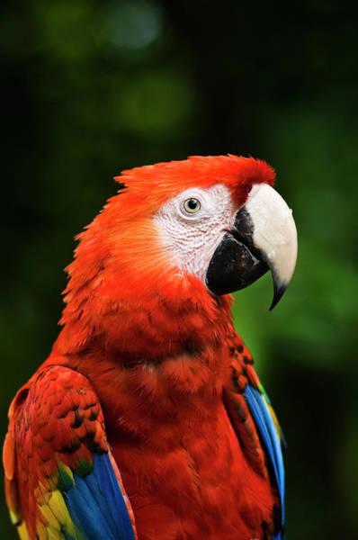 Macaws Photograph - Scarlet Macaw Ara Macao, Xcaret Eco by Guylain Doyle