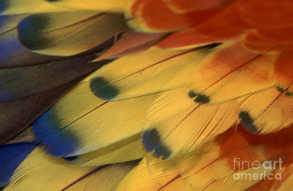 Photograph - Scarlet Macaw Feathers by F Stuart Westmorland