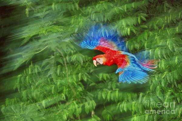 Photograph - Scarlet Macaw Juvenile In Flight by Frans Lanting MINT Images