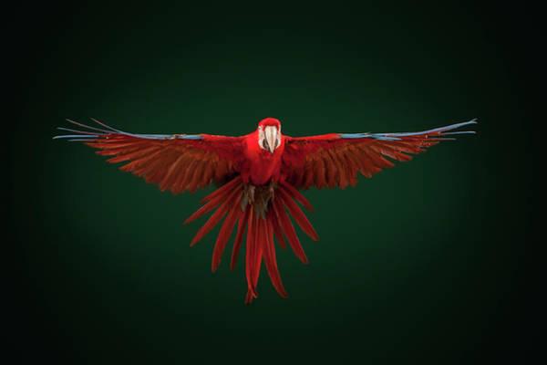 Macaw Photograph - Scarlet Macaw Parrot In Full Flight by Tim Platt