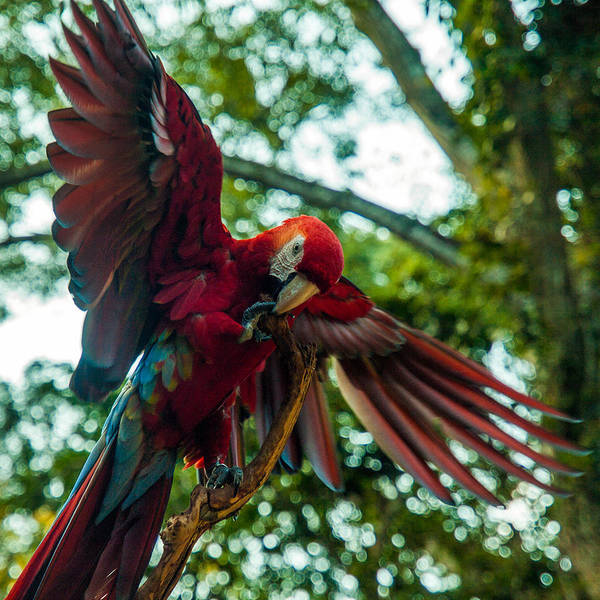 Photograph - Scarlet Macaw by Tyler Lucas