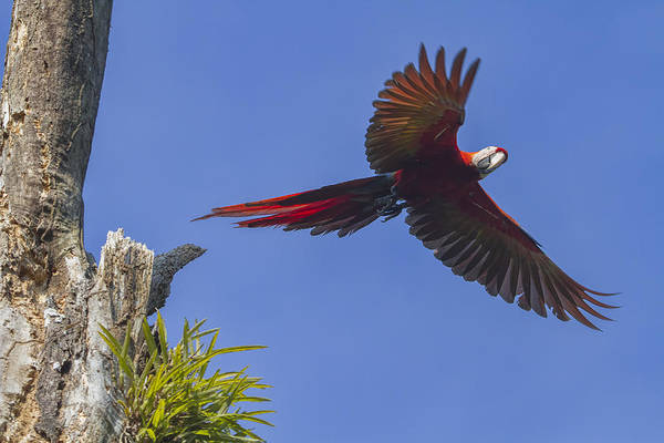 Photograph - Scarlet Mackaw In Flight by Peggy Collins