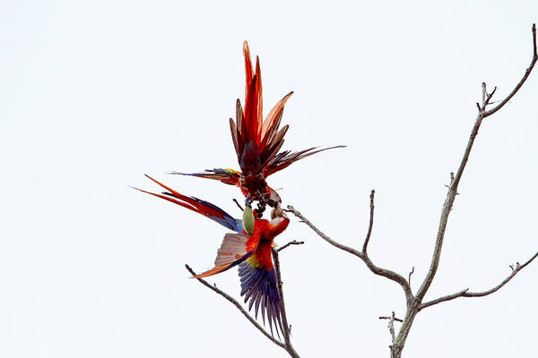 Photograph - Scarlet Mackaws Fighting by Peggy Collins