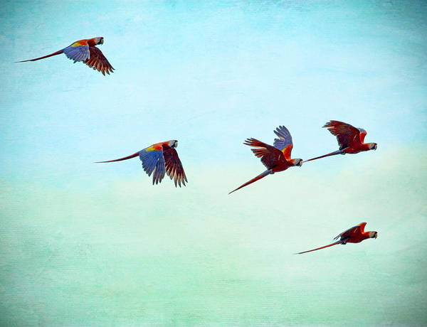 Painting - Scarlet Mackaws Flying by Peggy Collins