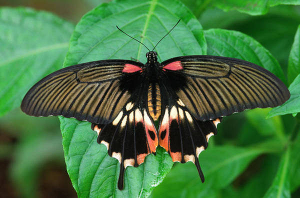 Philippines Photograph - Scarlet Mormon Butterfly by Nigel Downer