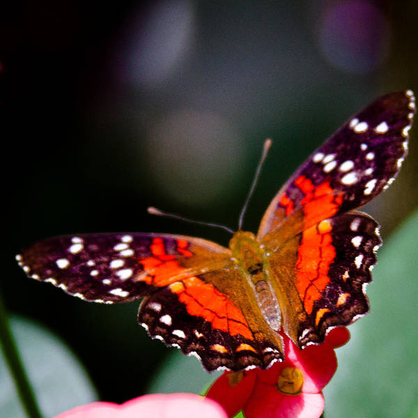 Photograph - Scarlet Peacock Butterfly - Anartia Amathea by David Patterson