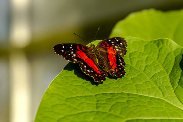 Photograph - Scarlet Peacock Butterfly by Teri Virbickis