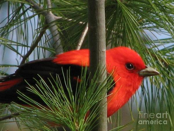 Wall Art - Photograph - Scarlet Tanager by Nancy TeWinkel Lauren