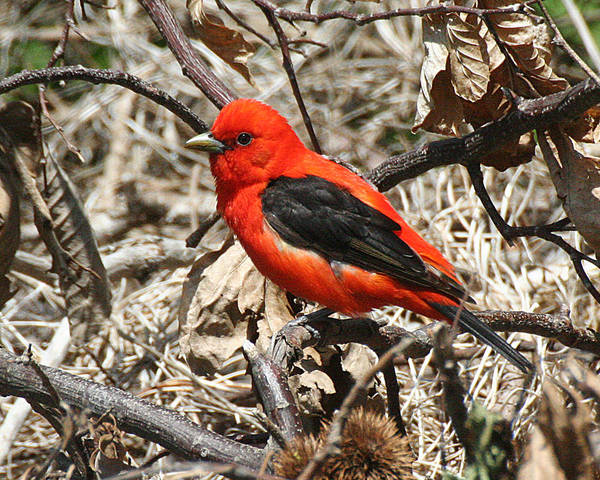 Photograph - Scarlet Tanager by William Selander