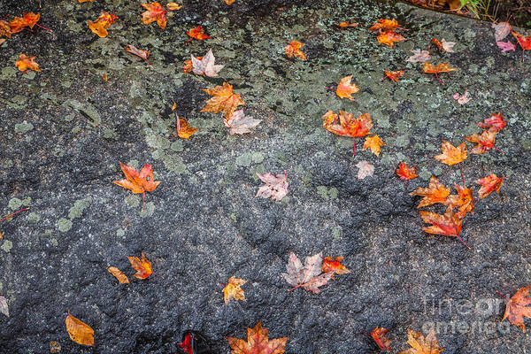 Photograph - Scattered Maple Leaves by Susan Cole Kelly