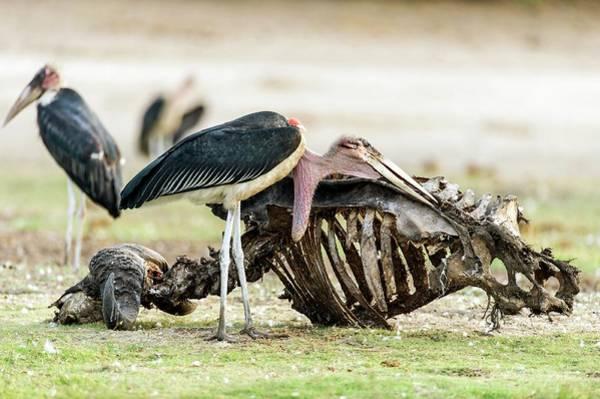 Chobe National Park Wall Art - Photograph - Scavenging Marabou Stork by Peter Chadwick