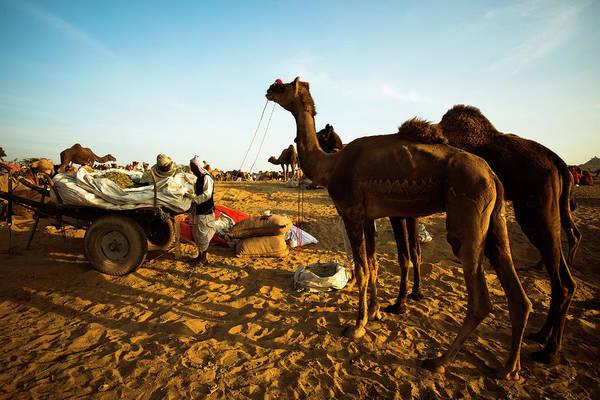Dromedary Photograph - Scene At Pushkar Camel Fair, Pushkar by Exotica.im