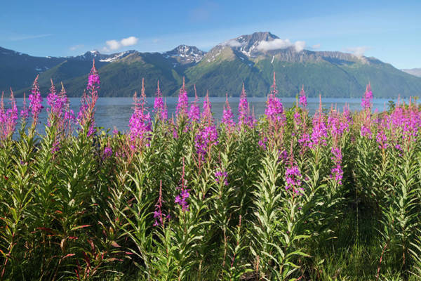 Scenic Landscape Of Fireweed Art Print
