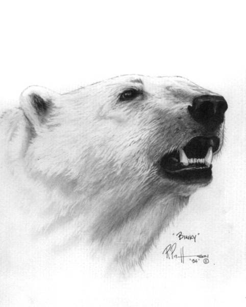 Polar Bear Drawing - Scent In The Air Polar Bear by Bob Patterson