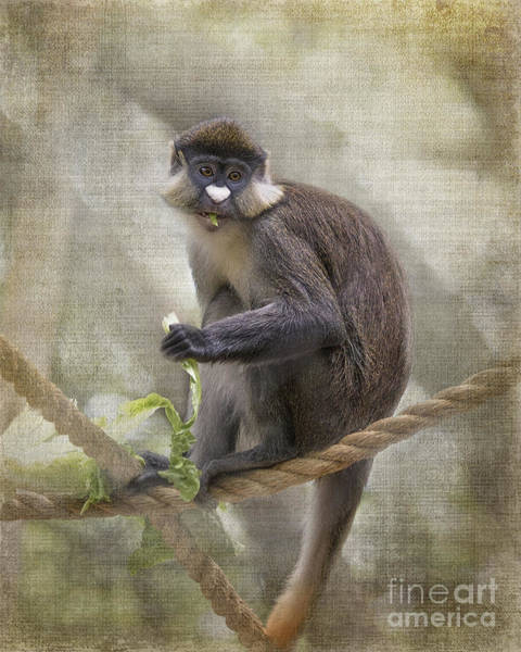 Houston Zoo Photograph - Schmidt's Red-tailed Guenon Happy Ending by TN Fairey