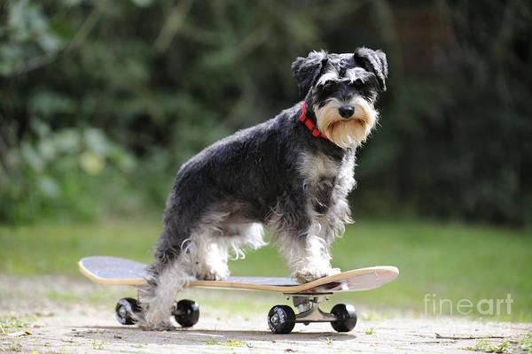 Schnauzer Photograph - Schnauzer On Skateboard by John Daniels