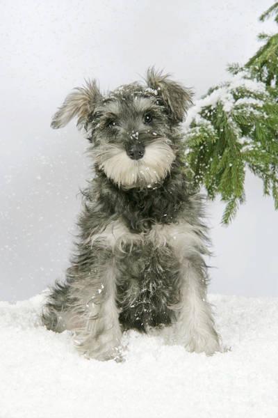 Schnauzer Photograph - Schnauzer Puppy In Snow by John Daniels